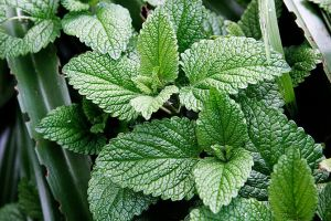 670px-Mint-leaves-1508